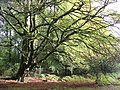 Twisted beech tree on the edge of the Coppice of Linwood, New Forest - geograph.org.uk - 62977.jpg