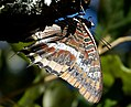 Two-tailed Pasha. Charaxes jasius Nymphalidae (32826991980).jpg
