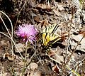 Two-tailed Swallowtail. Papilio multicaudata - Flickr - gailhampshire.jpg