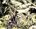 Two-toed sloth in a tree (3607622859).jpg