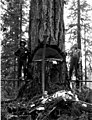 Two men on springboards notching tree with felling axes and crosscut saw, ca 1913 (PICKETT 129).jpeg