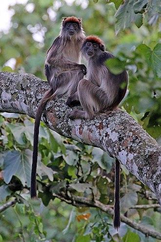 Ugandan red colobus - Juveniles, Kihingami Wetlands near Kibale Forest, Uganda