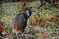 Unidentified kangaroo -Blue Mountains, New South Wales, Australia-8 (1).jpg