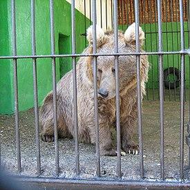 Sloth bear  Wikipedia