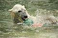 Ursus maritimus at the Bronx Zoo 006.jpg