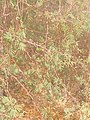Vachellia farnesiana by Prahlad balaji 2.jpg