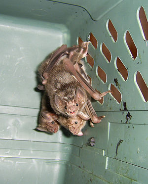 Common vampire bat - Vampire bats in a crate