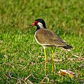 Vanellus indicus, Red Wattled lapwing .jpg