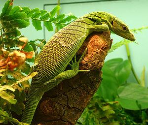 Emerald tree monitor - Image: Varanus prasinus
