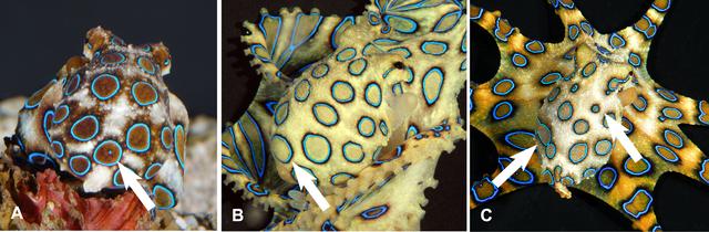 ταμπουλέ με χταπόδι καπνιστό - χταπόδια Hapalochlaena lunulata με μπλε δακτυλίδια
