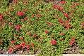 Verbena Tukana Scarlet 1zz.jpg
