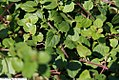 Veronica peduncularis Waterperry Blue 1zz.jpg
