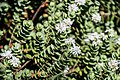 Veronica pinguifolia in Christchurch Botanic Gardens 01.jpg