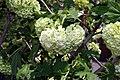 Viburnum opulus Roseum 3zz.jpg