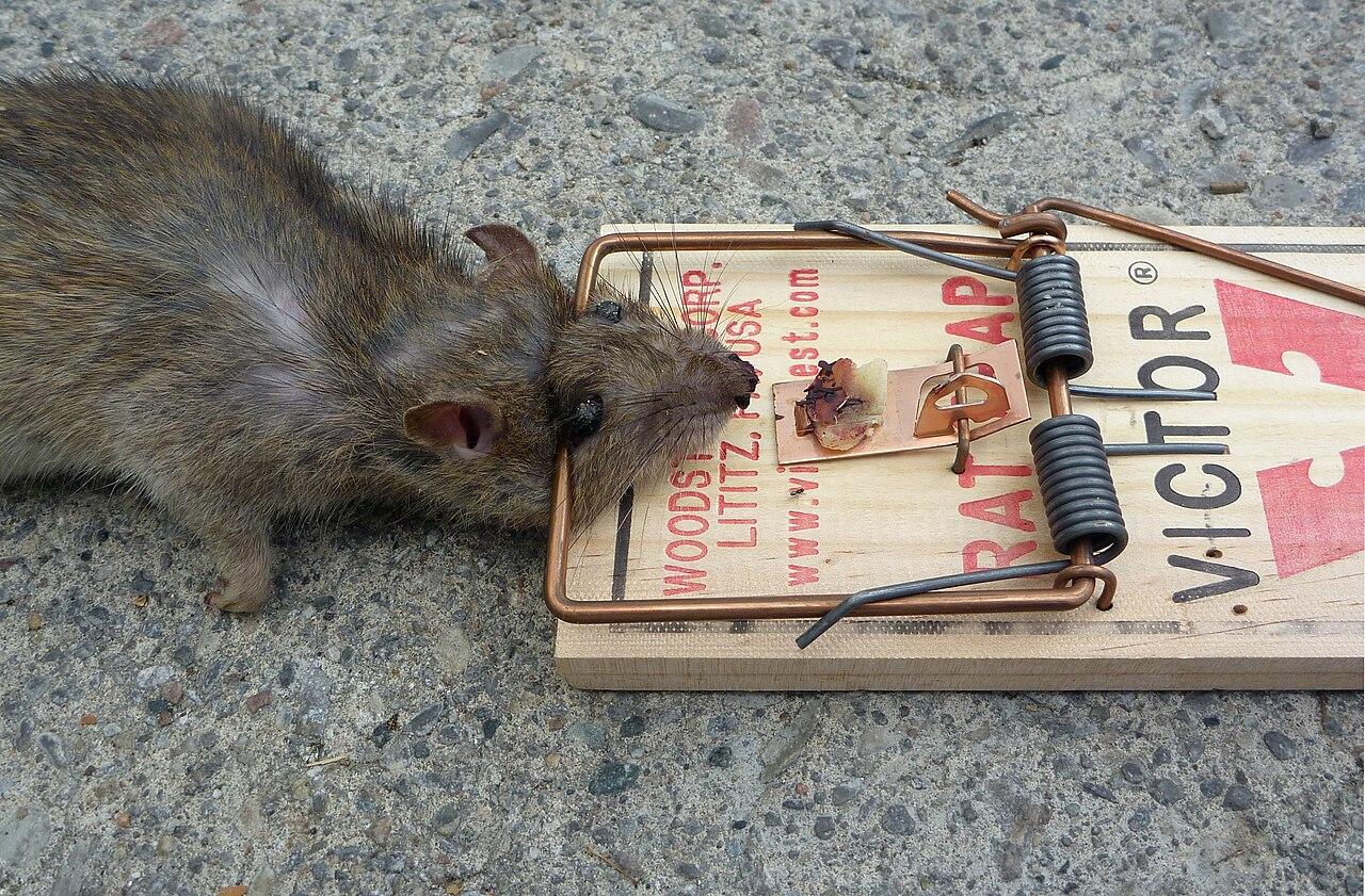 Крысы отрава своими руками 3