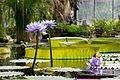Victoria amazonica at the Saint Petersburg Botanical Garden - panoramio.jpg