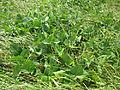 Vigna unguiculata habit10 (10736935255).jpg