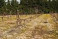 Vigne jaune de Crepis sancta 1.jpg