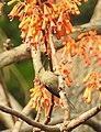 Vigor's Sunbird Aethopyga vigorsii female DSCN0125 (3).jpg