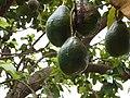 Village scenes. Avocados get ready for plucking at Saligao village. Bardez, Goa, India. 02.jpg