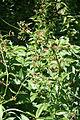 Vincetoxicum rossicum SCA-5118.jpg