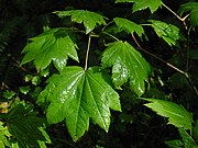 Acer circinatum (Vine Maple) leaves showing the palmate veining typical of most species