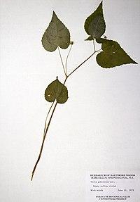Viola pubescens var. pubescens BW-1979-0612-0744.jpg