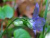 Viola riviniana.jpeg