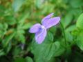 Viola x bavarica.jpeg