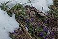 Violette odorante-Viola odorata-Pleiney-20150326.jpg
