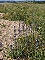 Viper's bugloss, Slapton Sands - geograph.org.uk - 1361049.jpg