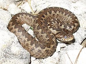 Νανόχεντρα (Vipera ursinii)