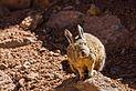 Vizcacha de la Sierra (Lagidium viscacia), Desierto de Siloli, Bolivia, 2016-02-03, DD 32.JPG