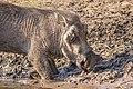 Warthog Botswana (27674949734).jpg
