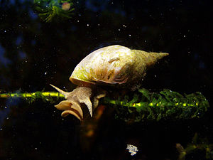The great pond snail was named Helix stagnalis...