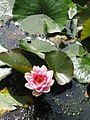 Waterlily, Clincton Wood Local Nature Reserve - geograph.org.uk - 930364.jpg