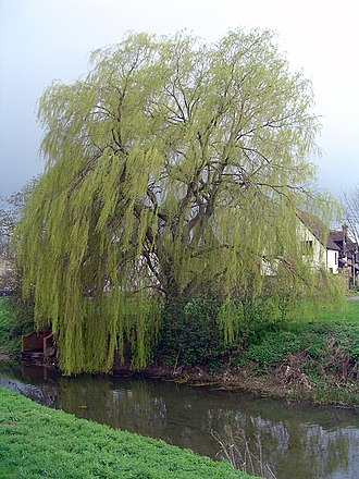 Alconbury - Image: Weeping willow in alconbury