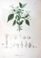 Weigela hortensis SZ30.png