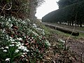 West Parley, snowdrops - geograph.org.uk - 1171765.jpg