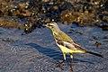 Western Yellow Wagtail (Motacilla flava). മഞ്ഞവാലുകുലുക്കി. (32933060535).jpg