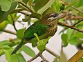 White-CheekedBarbet.jpg