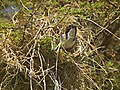 White-browed Sparrow-weaver Plocepasser mahali in Tanzania 1756 Nevit.jpg