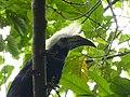 White-crowned Hornbill (Berenicornis comatus) male (8077374845).jpg