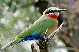 White-fronted Bee-eater (Merops bullockoides) (16653461693).jpg