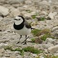 White-fronted Chat (male).jpg