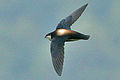 White-throated Needletail - Ron Knight - Cropped.jpg