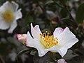 White Camellia sasanqua.jpg