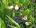 White Lady's Slipper (Cypripedium candidum) - Flickr - Jay Sturner (3).jpg