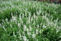 White Lavender.JPG