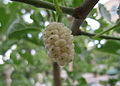 White Mulberry.jpg